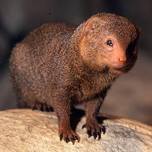 Dwarf Mongoose - small yet still deadly to snakes